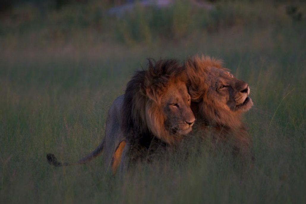 Secreto en la sabana: encontraron a dos leones en pleno acto sexual