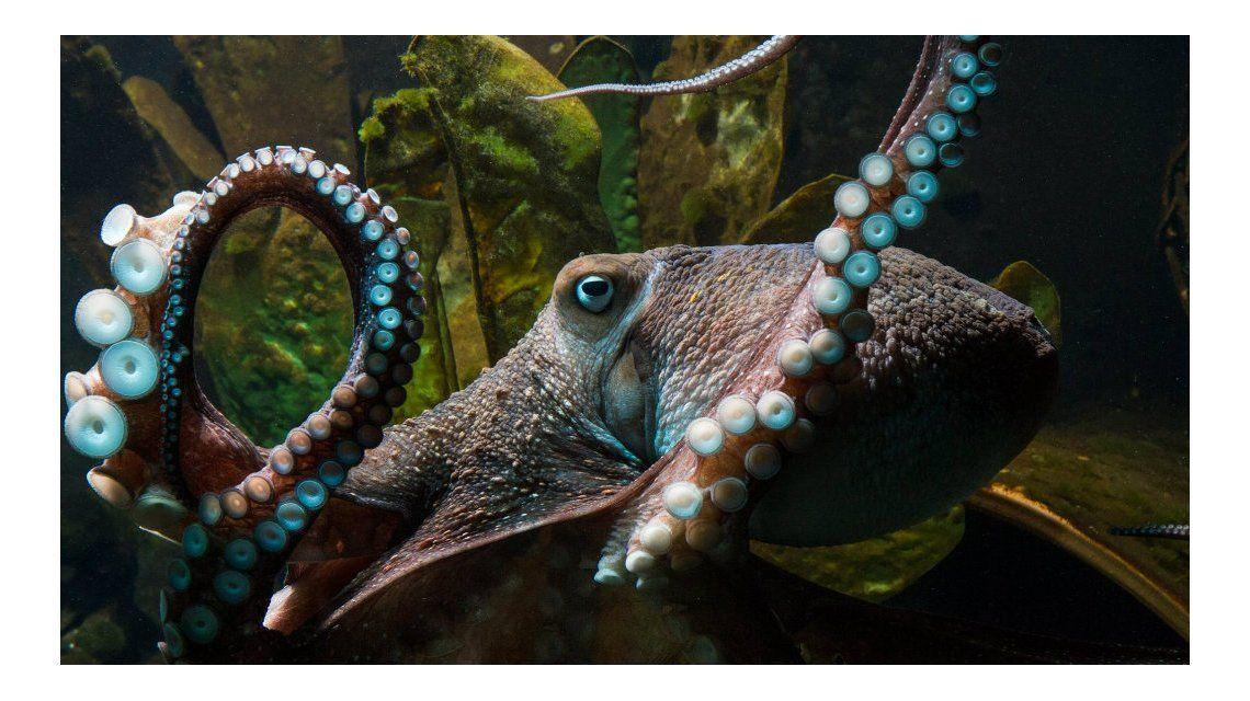 Misterio en Nueva Zelanda por un pulpo que se escapó del acuario
