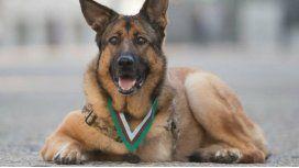 Condecoran con todos los honores a una perra de tres patas que sirvió en la guerra