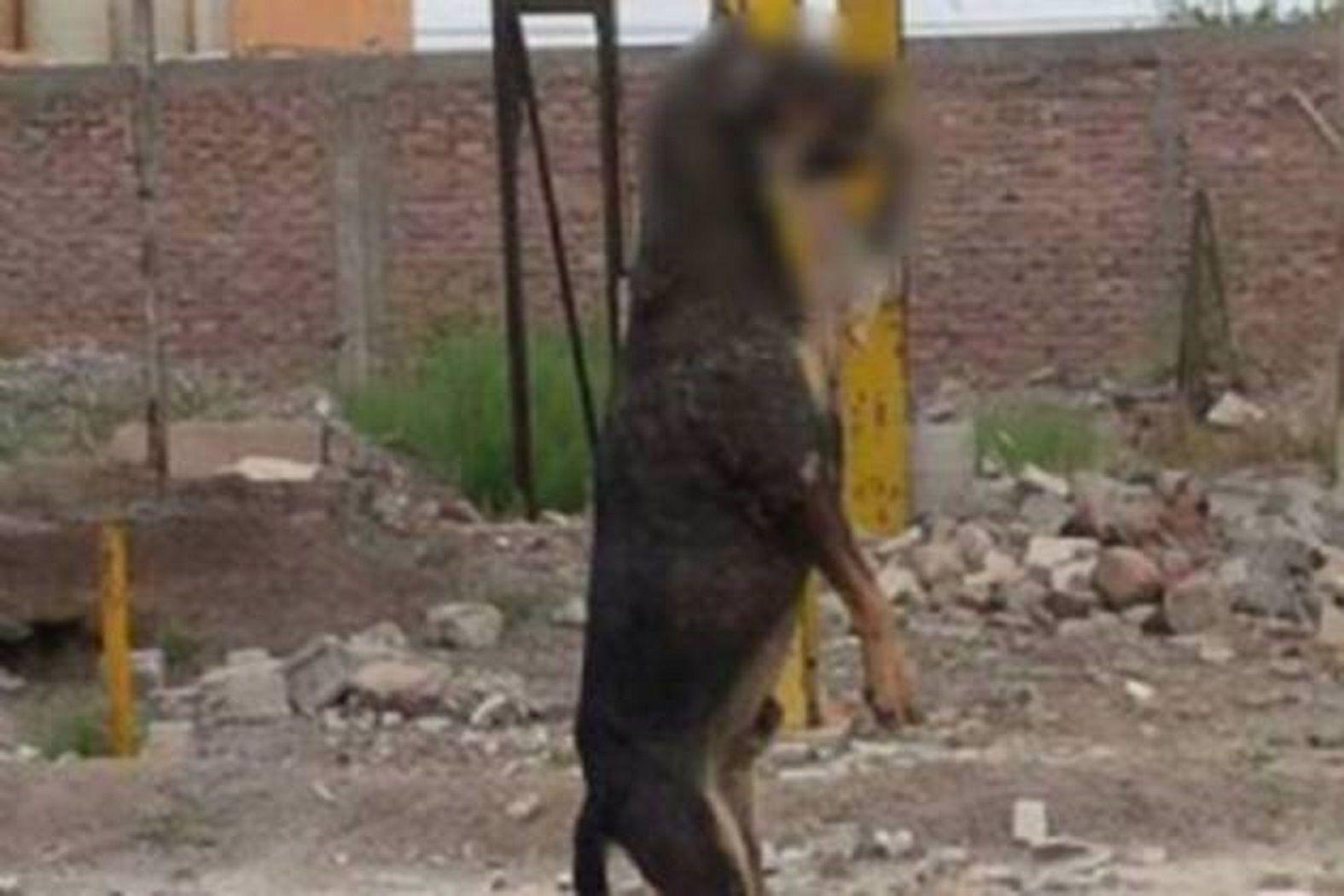 Un horror: ahorcaron con un fierro en la boca a un perro y lo dejaron colgando