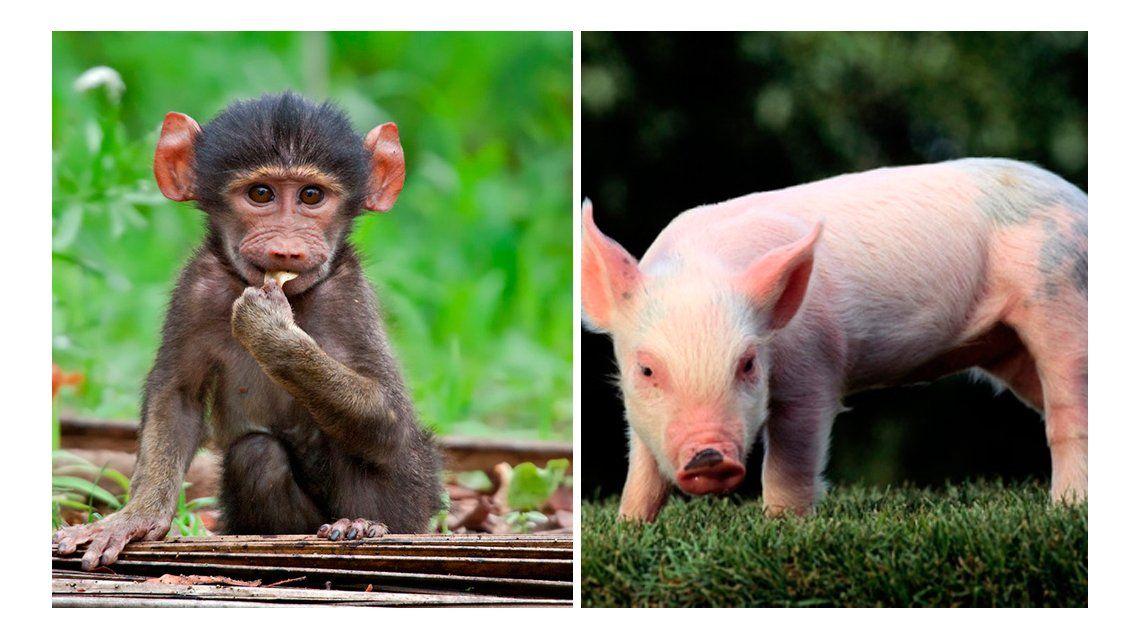 Un mono vivió durante dos años con un corazón de cerdo
