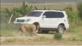 Mataron a un león que se había escapado de una reserva
