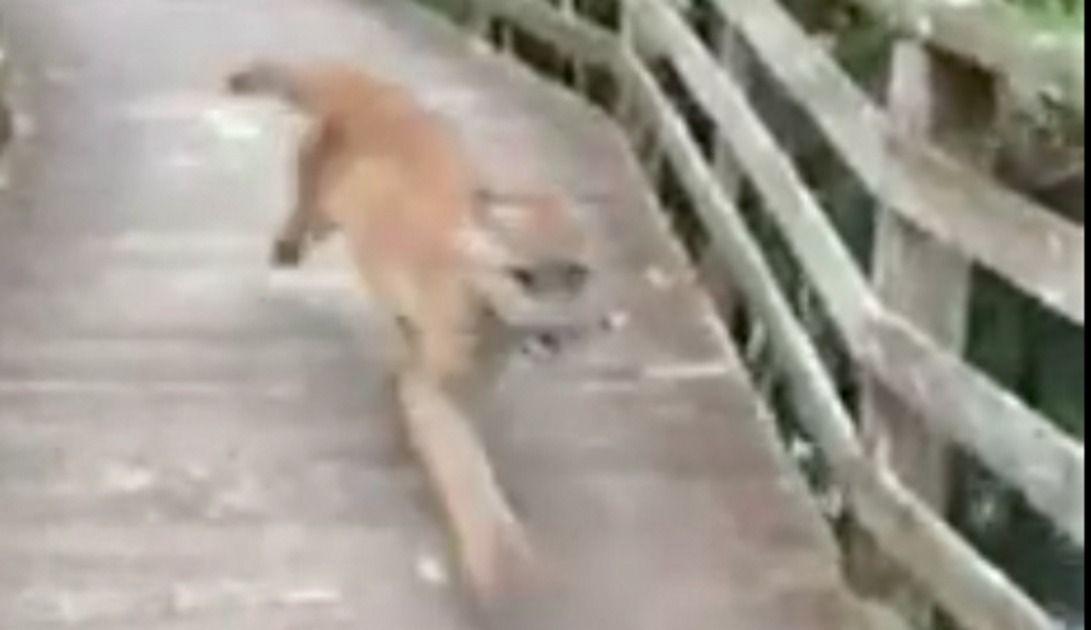 VIDEO: Caminaba por un parque cuando apareció una pantera