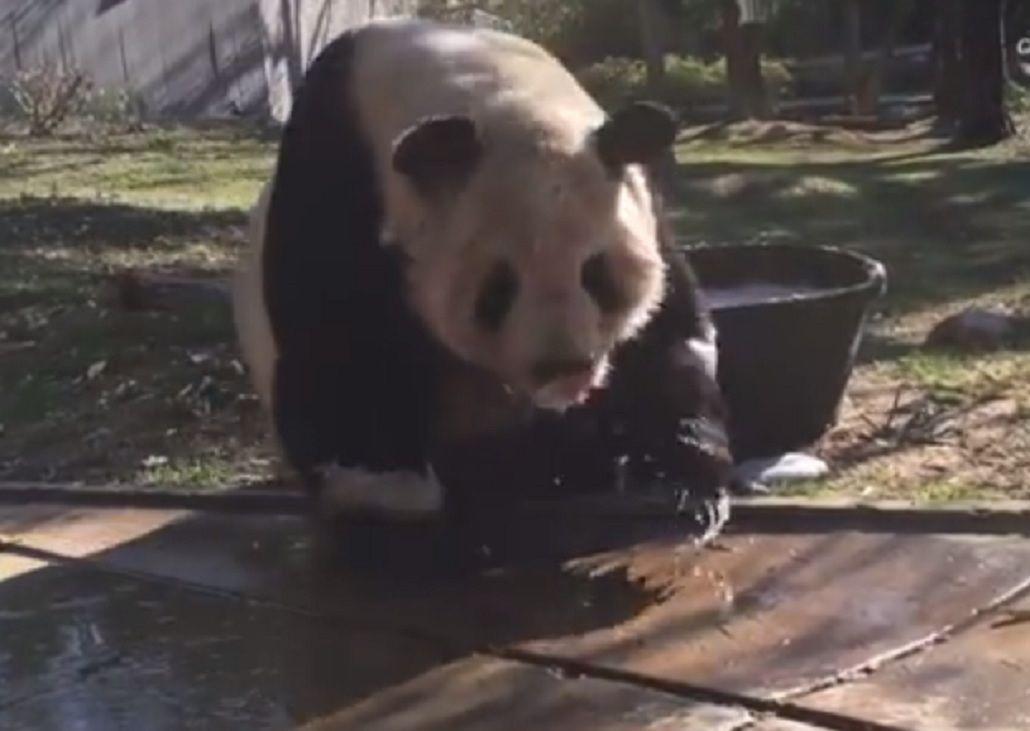 Mirá el divertido baño de espuma de un oso panda