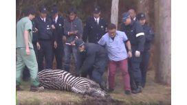VIDEO: Se fugó una cebra y terminó ahogada