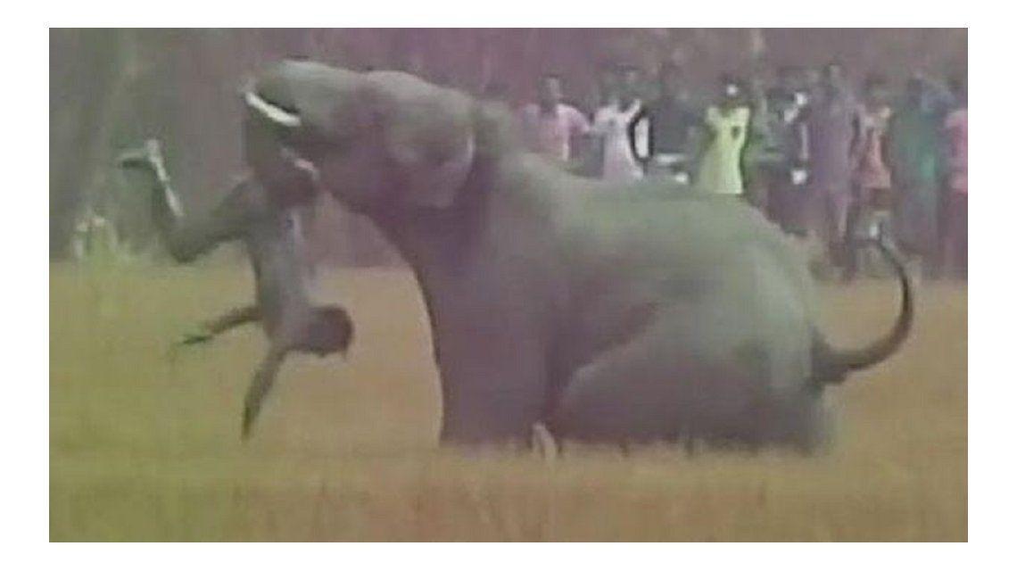 Espantaba a un elefante, pero fue atacado y murió