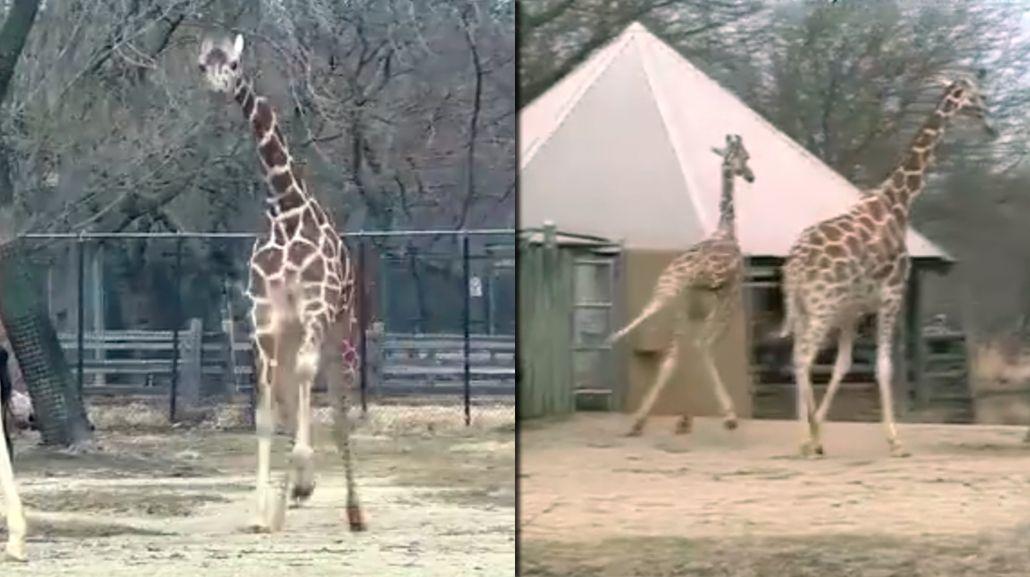 Esta jirafa es la metáfora perfecta de la llegada de la primavera a los EE.UU.