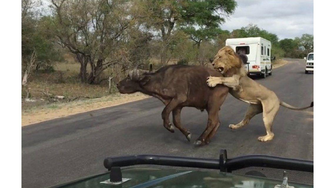 VIDEO: Leones se comen un búfalo frente a un grupo de turistas
