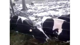 VIDEO: Cayó rayo y mató a 32 vacas
