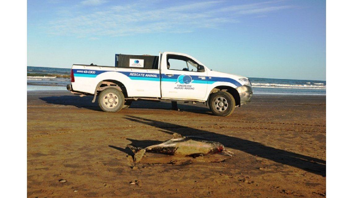 Aparecieron 23 delfines muertos en los balnearios de la Costa Atlántica