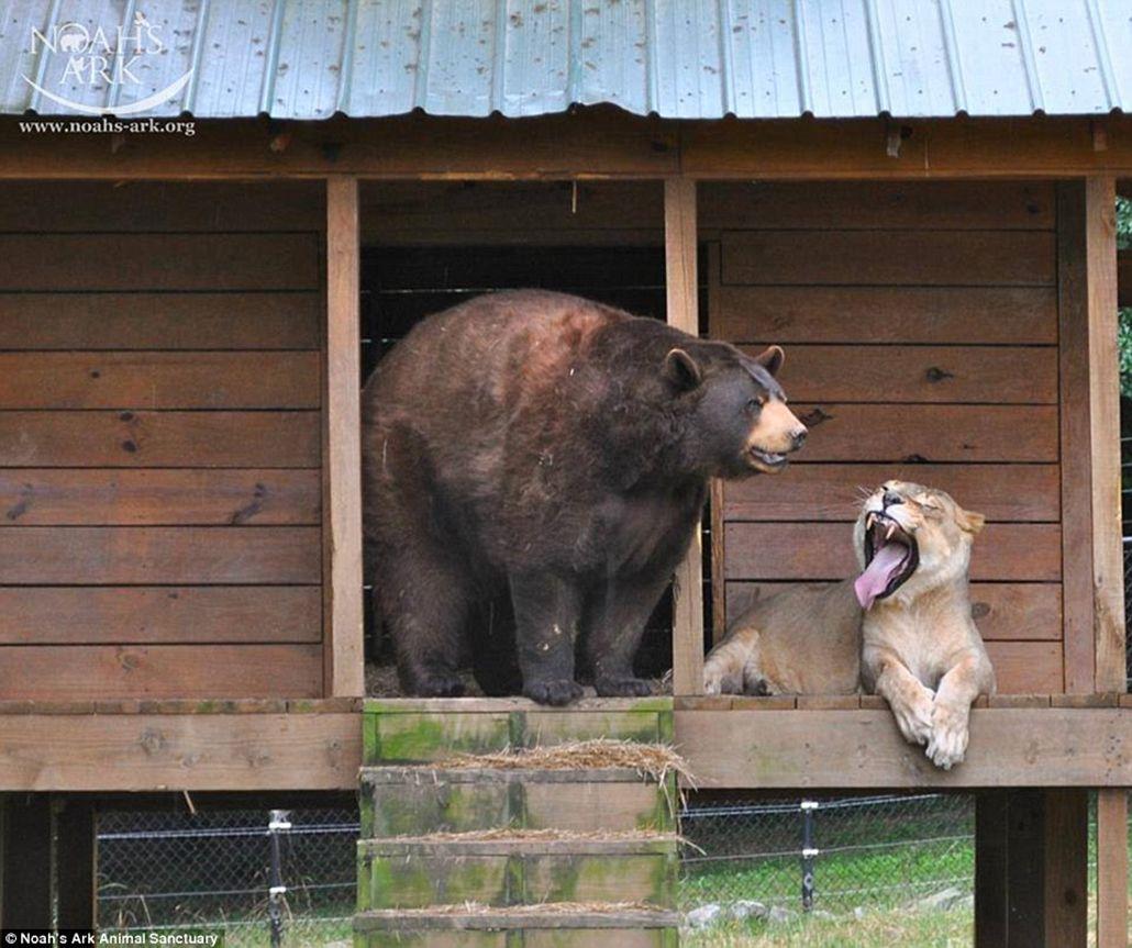 Un tigre, un oso y un león se convirtieron en una familia muy poco tradicional