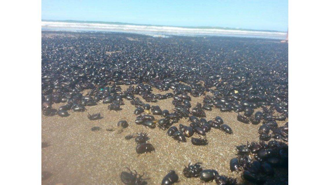 La curiosa invasión de escarabajos en la playa de Mar de Ajó