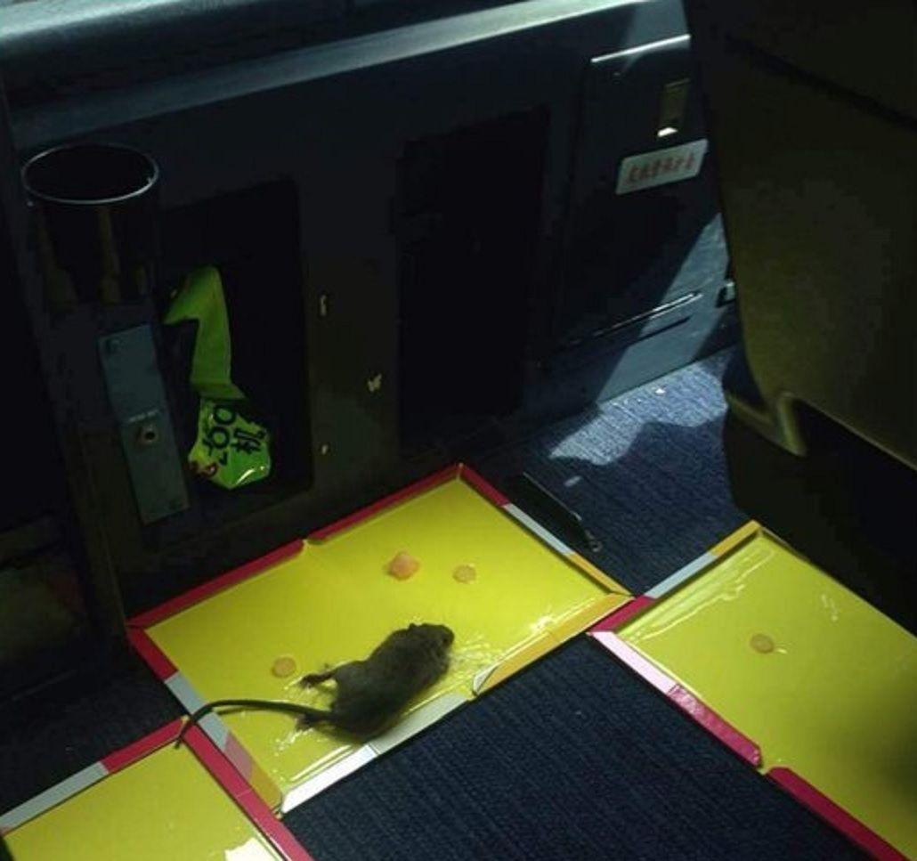 Pánico en el aire: una rata obligó a un avión a volver al aeropuerto