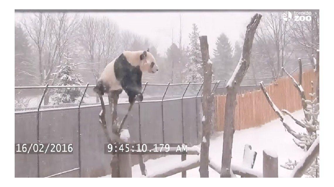Video: un panda gigante se recibió de equilibrista en medio de la nieve