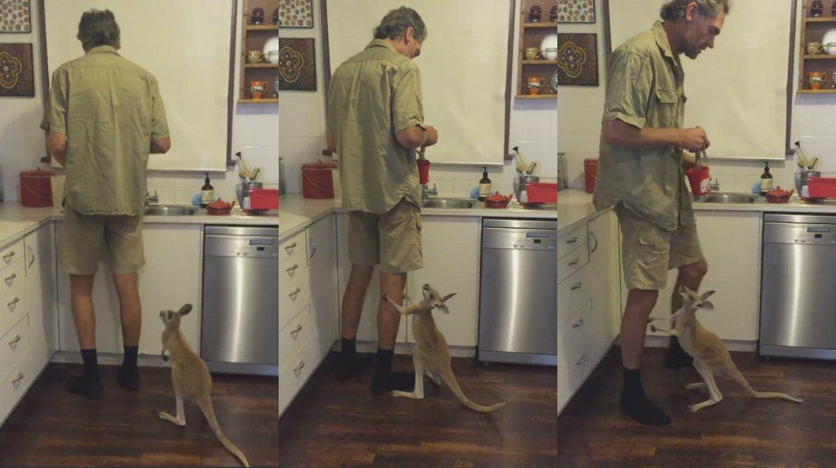 Una cría de canguro no puede contener su hambre al ver su comida