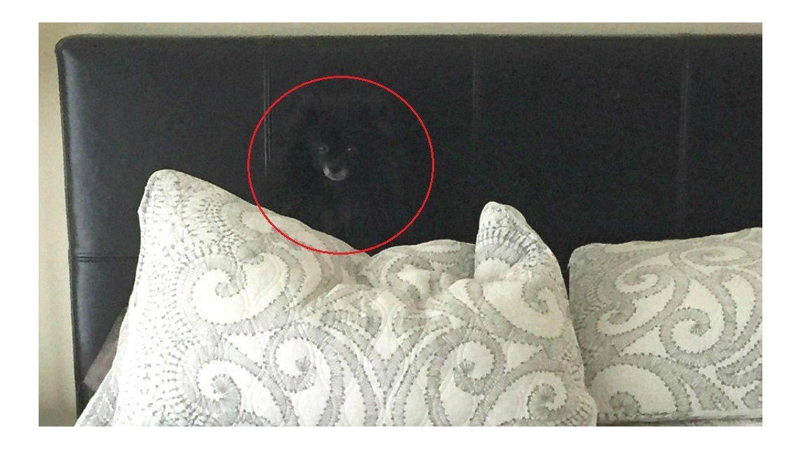 Un perro ninja se escondió a simple vista y enloqueció la web ¿lo ves?