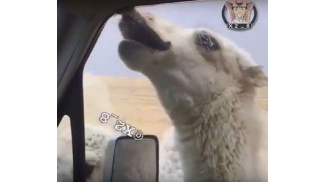 VIDEO: Un desalmado le agarró el labio con la ventana del auto a un camello