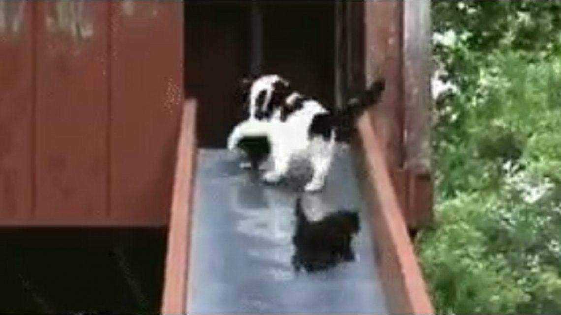 El estrés de una gata para salvar a sus crías de la caída desde un tobogán