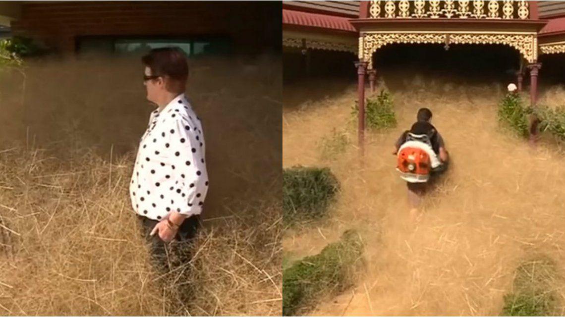 Pánico peludo, la extraña maleza que vuelve locos a los australianos