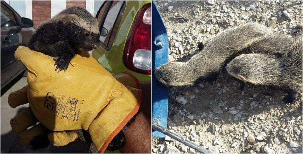 Aparecieron tres hurones en el patio de una casa en Chubut: así los rescataron
