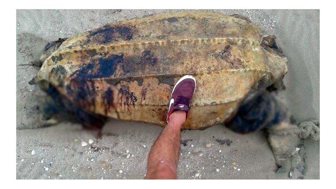 Aparecieron otro delfín y una tortuga marina decapitada en Mar Azul