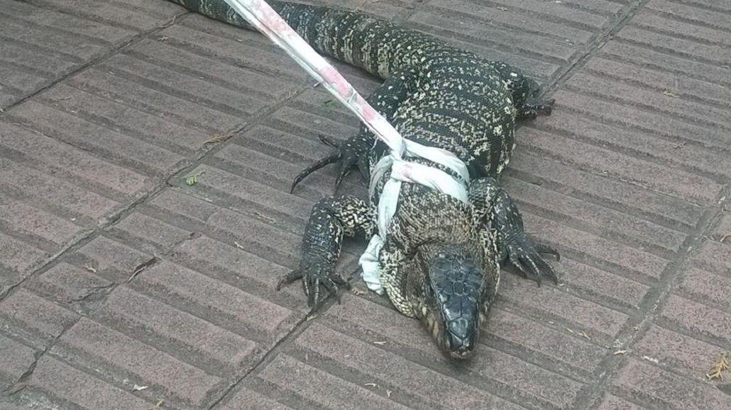 Pánico en un geriátrico: entró un lagarto gigante y se metió abajo de una cama