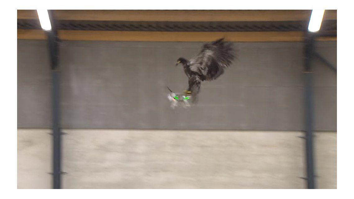 La policía holandesa entrena águilas para cazar drones