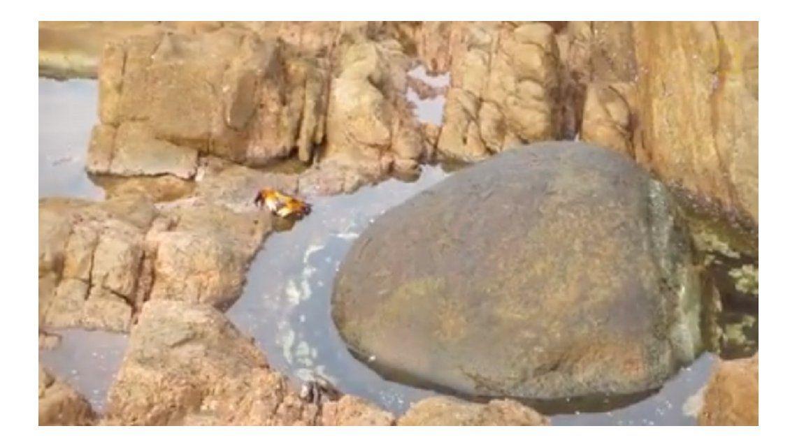 Un cangrejo paseaba tranquilo por la roca hasta que un pulpo lo atacó