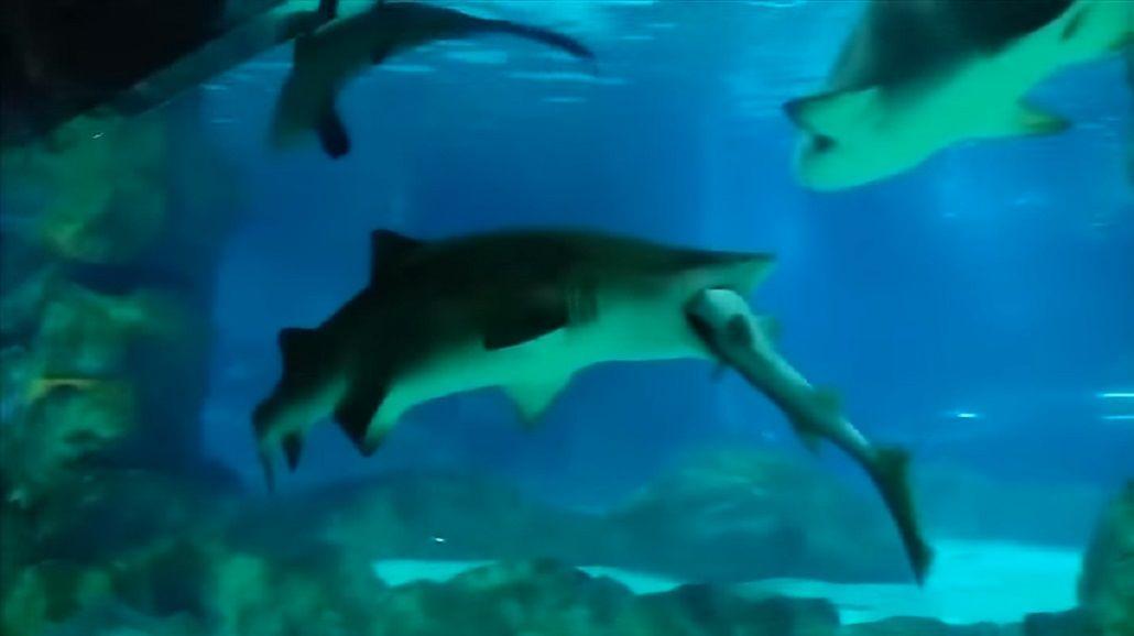 Un tiburón hembra se comió a su compañero de hábitat en un acuario