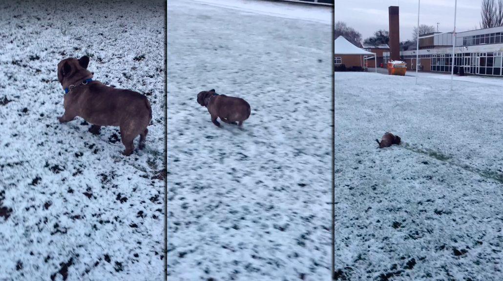 VIDEO: Mirá la tierna reacción de este bulldog francés al conocer la nieve