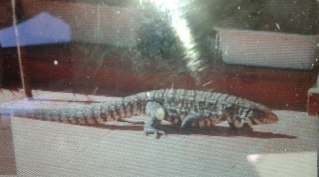 Un lagarto de más de un metro vive en el patio de su casa: pide ayuda para sacarlo