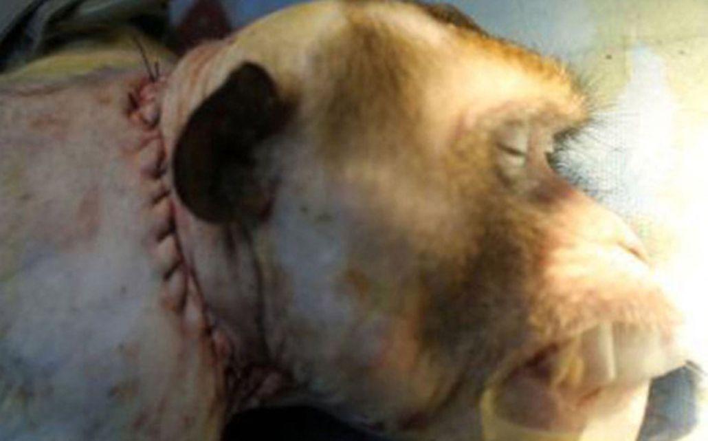 Un cirujano aseguró que pudo trasplantar la cabeza de un mono
