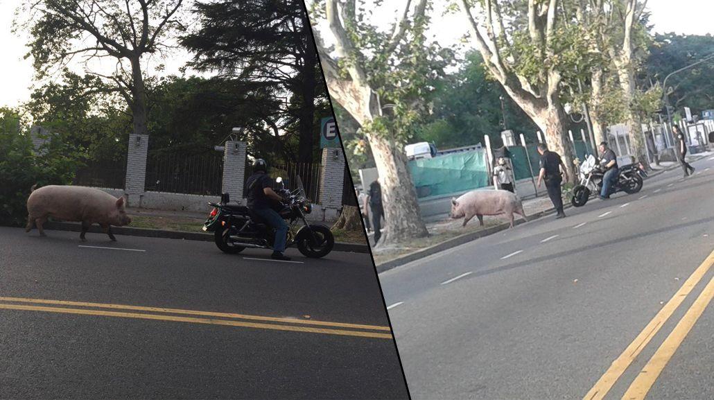 VIDEO: Apareció un chancho corriendo por una avenida de Agronomía