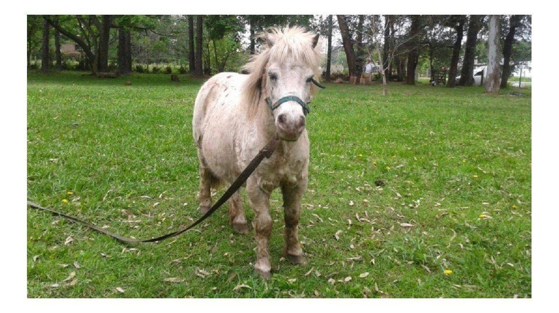 Tenían un pony, se lo robaron y ofrecen recompensa: Es imposible que esté mejor que con nosotros