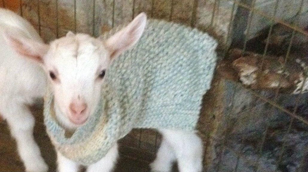 Una granja pidió voluntarios para abrazar y mimar a sus cabras bebés