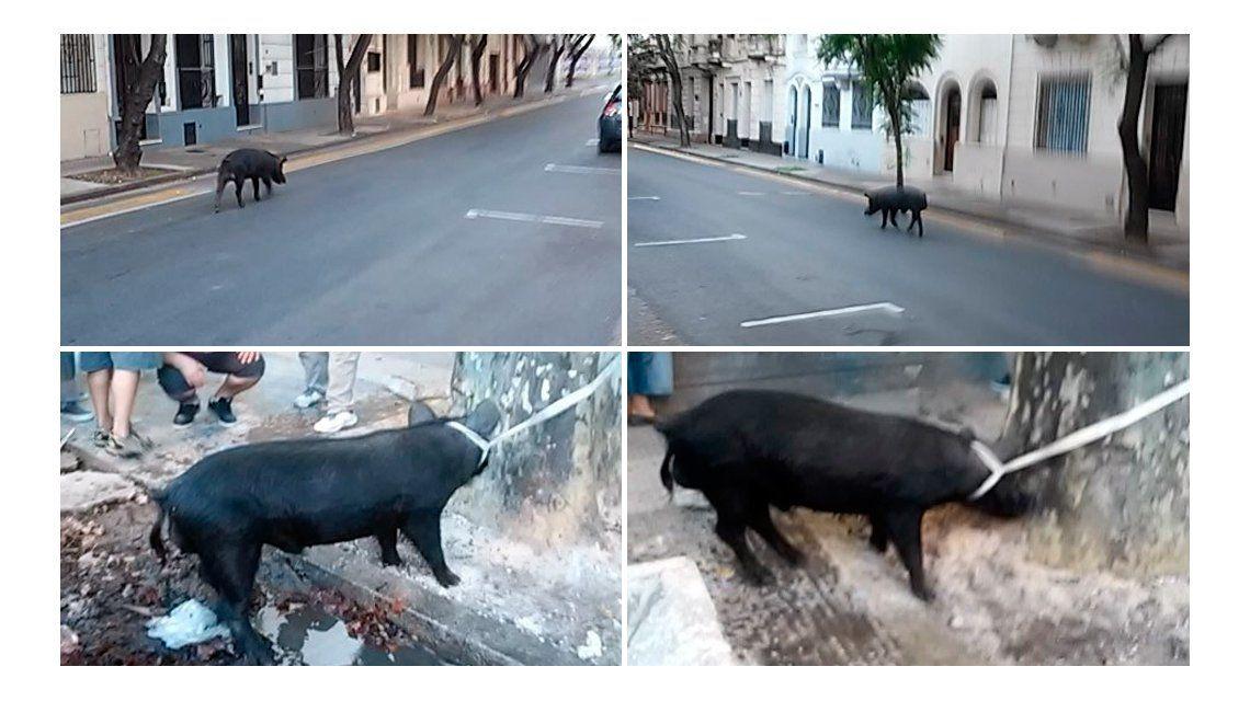 Sorpresa en Rosario: un chancho suelto por las calles del centro
