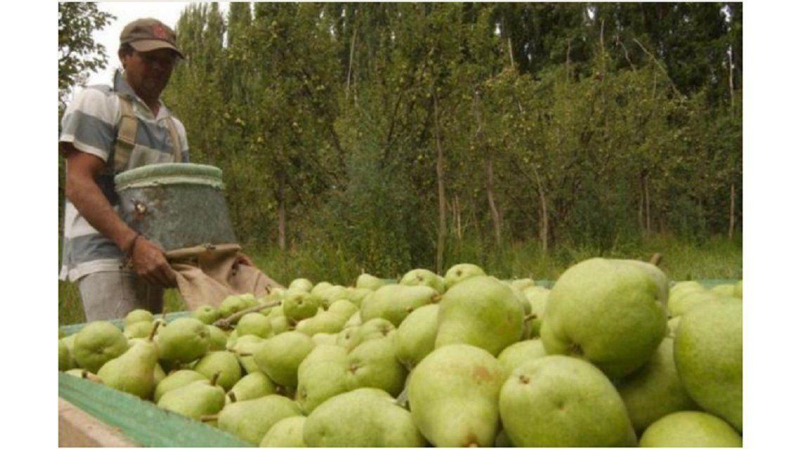 Una cooperativa analiza regalar su producción de peras al no poder venderla