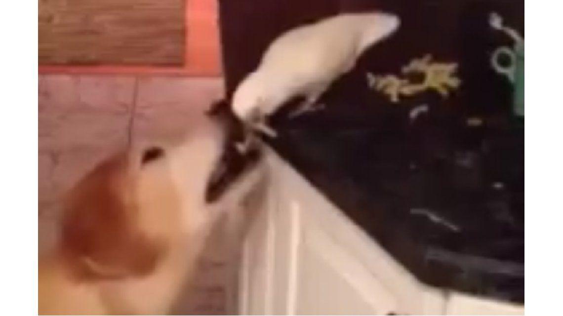 Trabajo en equipo: un loro le da de comer en la boca a un perro