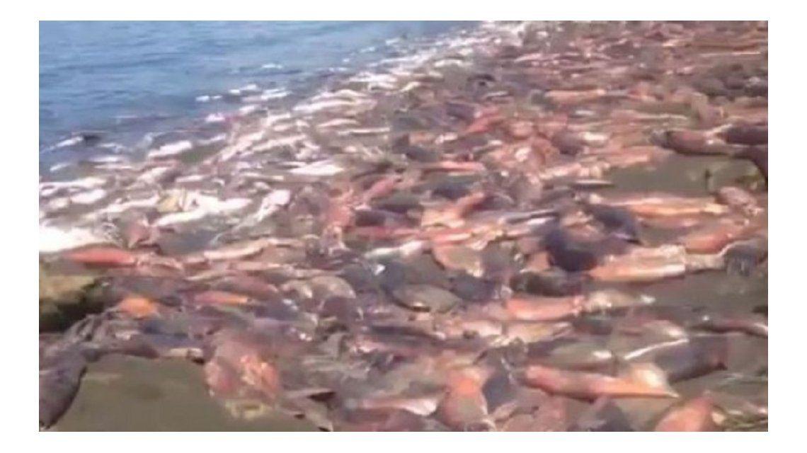 Impactante: invasión de jibias muertas en plena playa