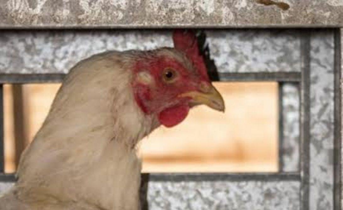 Rescataron casi 1000 gallinas abandonadas en Cresta Roja