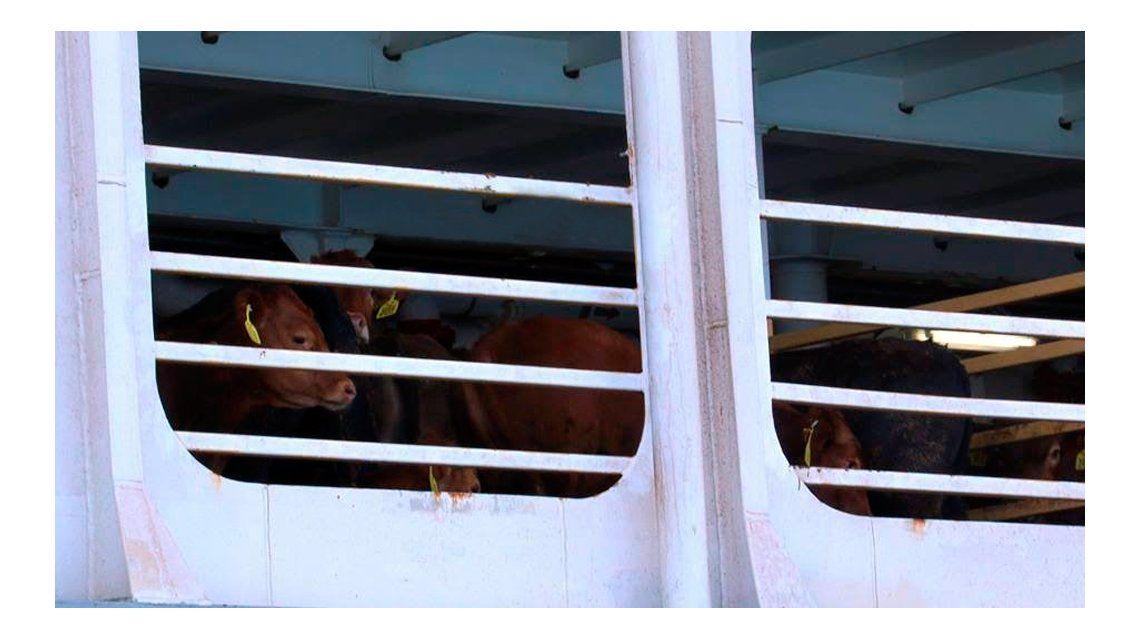 Preocupación por un barco varado en Australia con 13 mil animales adentro