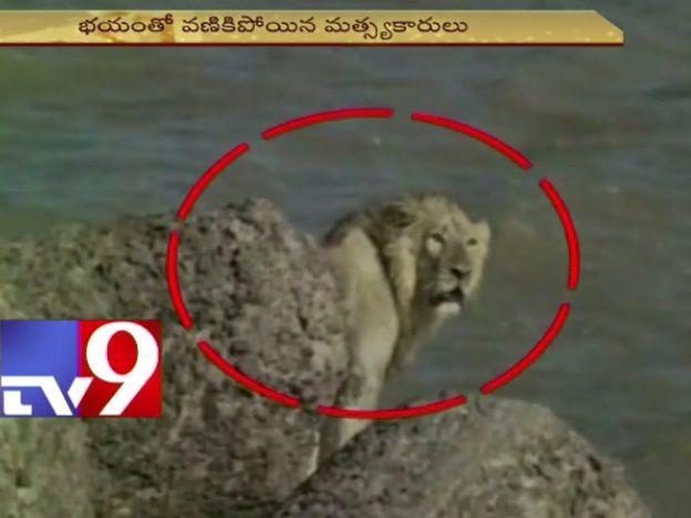 Rescate arriesgado: salvaron a un león que se tiró al mar