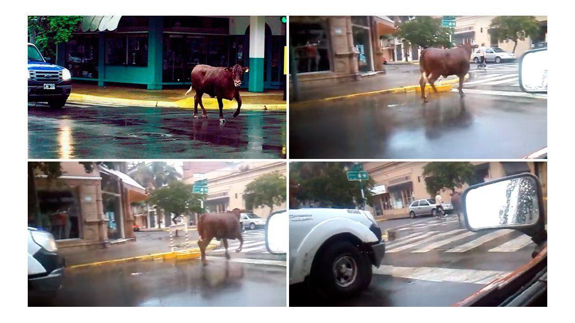 Vaca fugitiva atropelló e hirió a una mujer en Junín