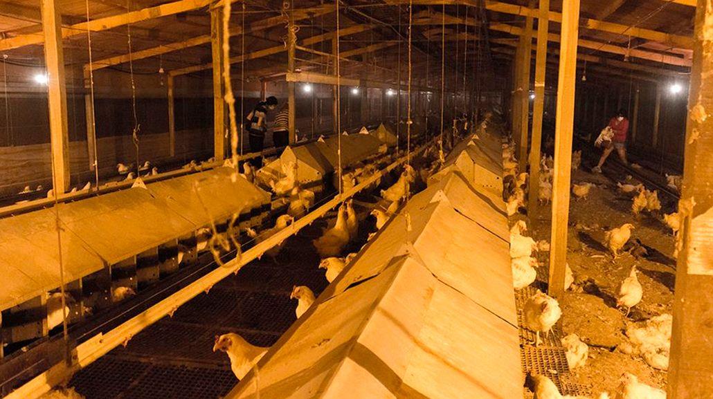 Cresta Roja, por dentro: así rescataron de los galpones a decenas de gallinas