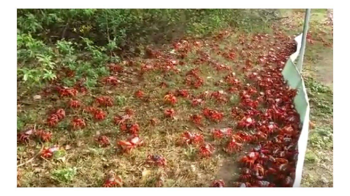 La curiosa isla que es invadida por cangrejos en Navidad
