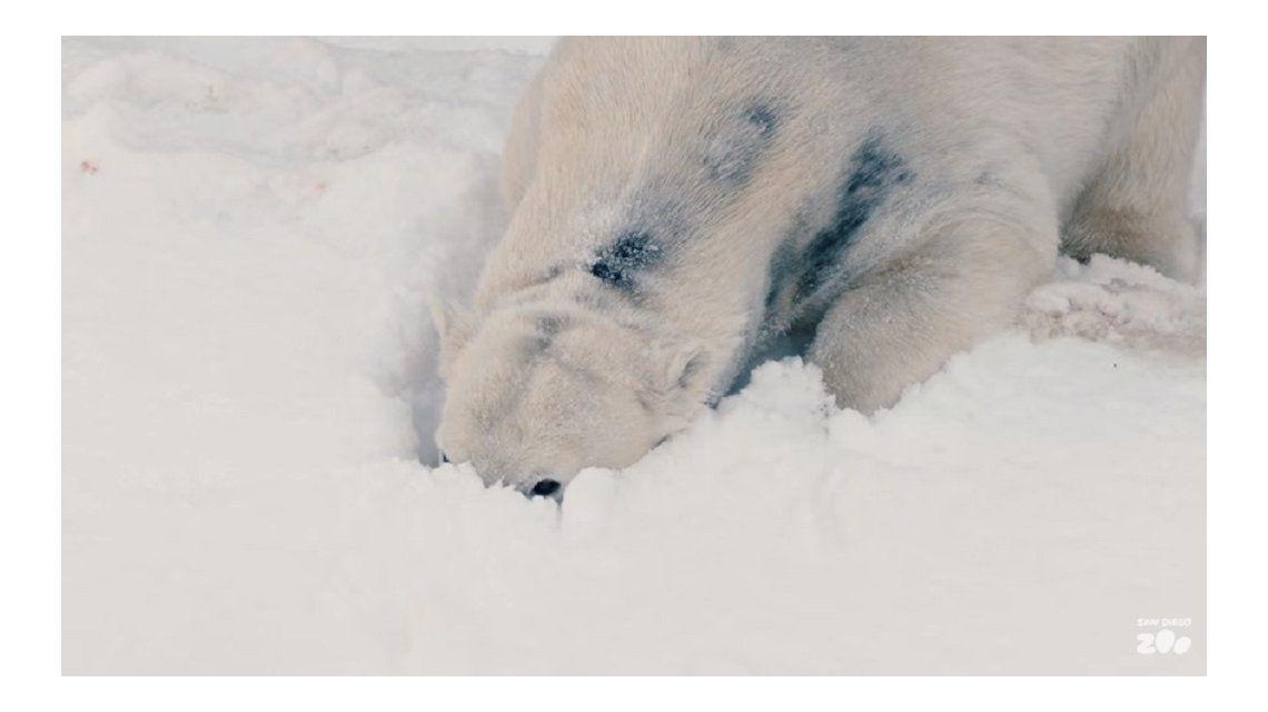 Le regalaron 26 toneladas de nieve a los osos polares del zoo de San Diego