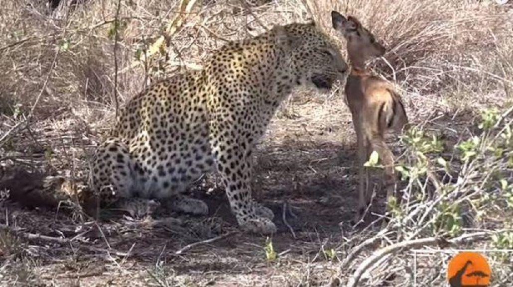 El leopardo que enternece a todos en las redes
