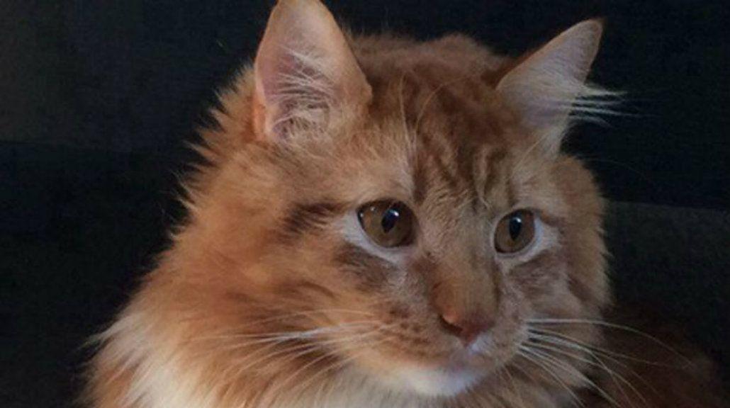 La foto de este gato se convirtió en viral porque parece un pollo