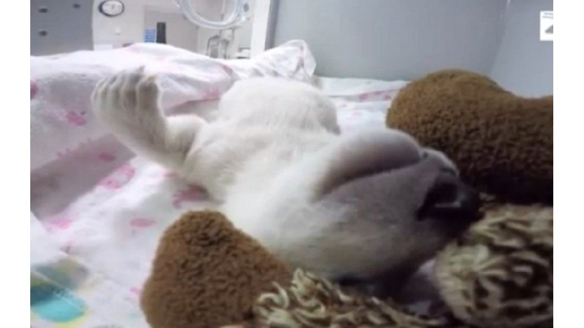 VIDEO: El osito polar que derrite a todos en Facebook