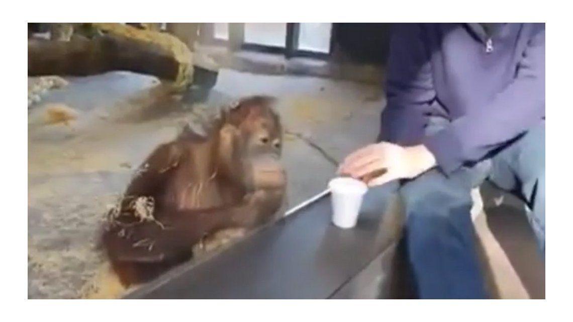 VIDEO: Mirá la reacción de un orangután después de un truco de magia